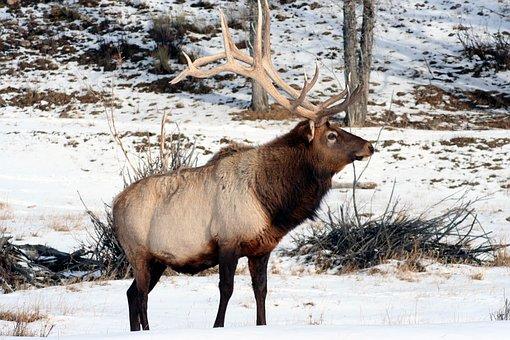 Elk, Wyoming, Bull, Nature, Wildlife, Landscape, Animal