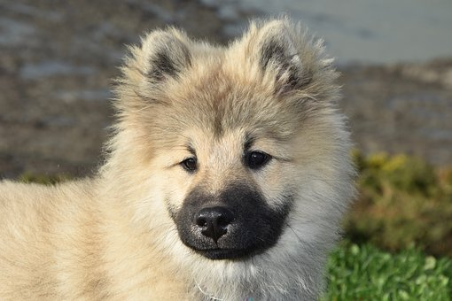 Dog, Pup, Portrait Dog Eurasier, Eurasier Dog Olafblue