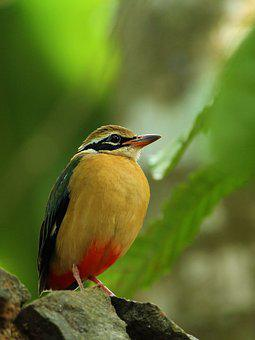 Indian Pitta, Bird, Avian, India, Kerala, Exotic, Cute