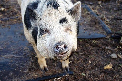 Pig, Spotted, Farm, Animal, Farmhouse