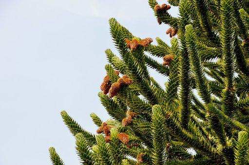 Pine, Fir, Branches, Coniferous, Tree, Wood, Green