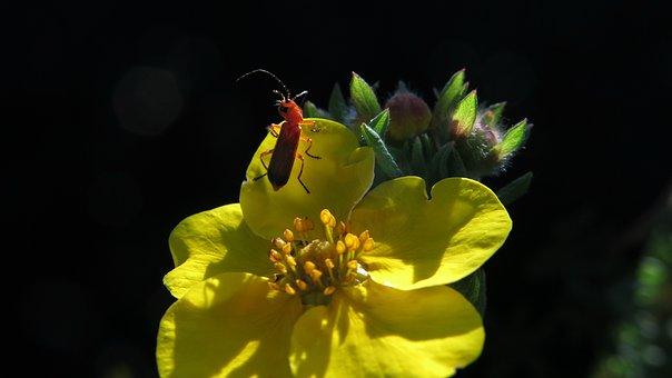 Tip Beetle, Five Finger Shrub, Beetle, Red Beetle