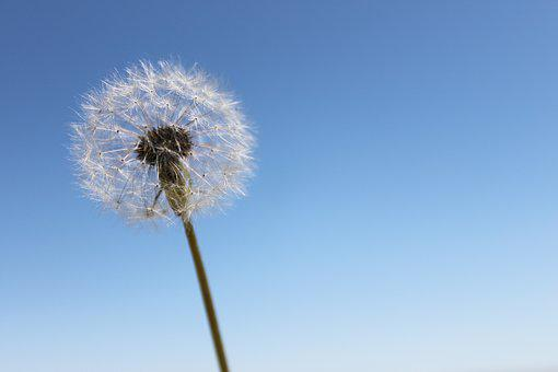 Dandelion, Sky, Wishes, Flower, Nature, Wind, Seeds