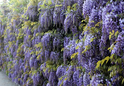 Blue Rain, Wisteria, Climbing Plants, Hedge, Flowers