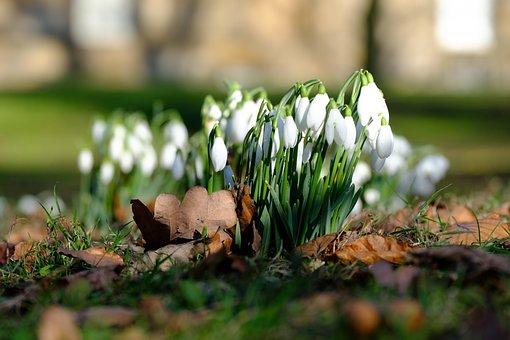 Winter, Flowers, Snowdrops, Sunshine, Fresh, New Life