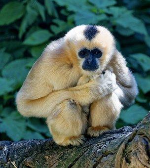 Monkey, Crouching, Staring, Wildlife, Stalking, Fur