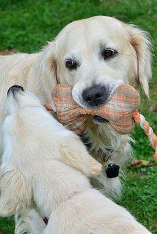 Golden Retriever, Dog, Dog Breed, Purebred Dog, Pet