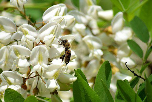 Bee, Black Locust Flower, Honey Bees, Insect, Pollen