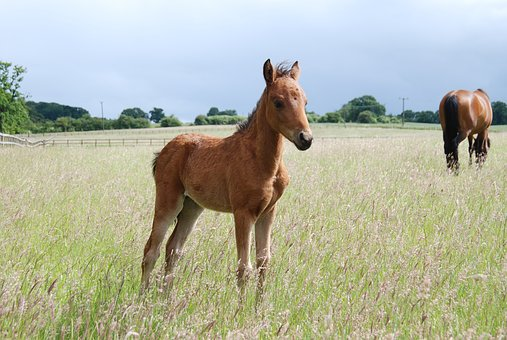 Pony, Foal, Field, Horse, Animal
