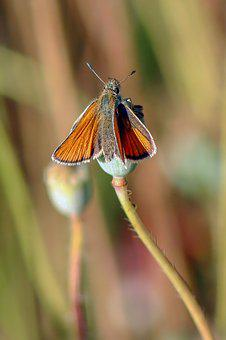 Small Skipper, Butterfly, Wings, Insect, Nature, Wing