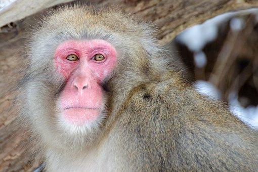 Snow Monkey, Japanese Macaque, Japan, Winter, Wildlife