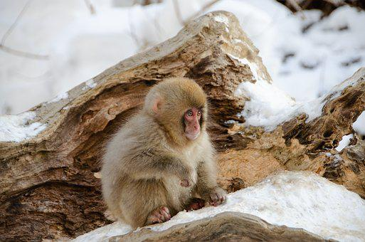 Snow Monkey, Japanese Macaque, Baby, Japan, Winter