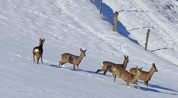 Winter, Landscape, Red Deer, Deer, Snow, Fence, Piles