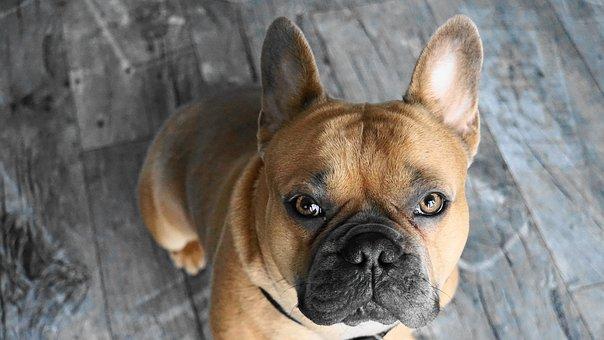 French Bulldog, Dog, Animal, Pet, Loyal Friend