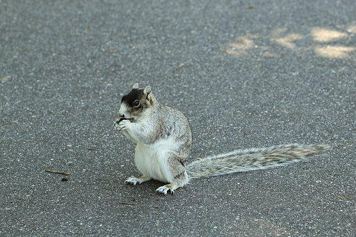 Fox Squirrel, Rodent, Nature, Animal