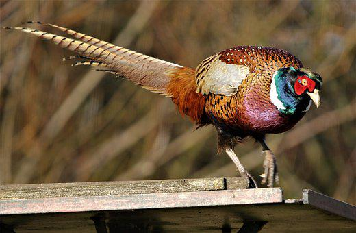 Pheasant, Bird, Female, Tail Feathers, Nature