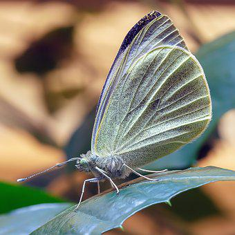 Butterfly, Large White, Wings, Nature, Insect, Wildlife