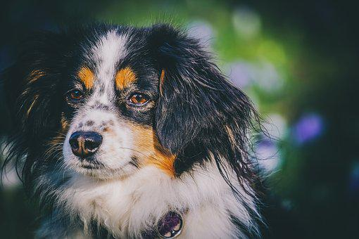 Australian Shepherd, Dog, Animal, Purebred Dog