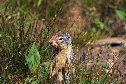 Ground Squirrel At Attention, Rodent, Squirrel, Animal
