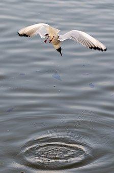 Seagull, Fishing, Flight, Diving, Fish, Nature, Stung