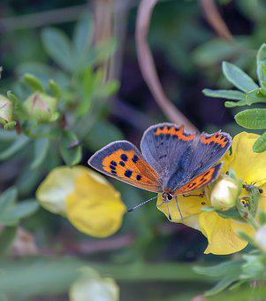 Small Copper, Butterfly, Wings, Nature, Spots, Antenna