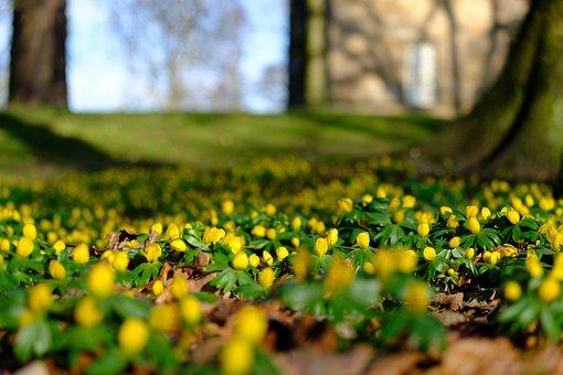 Winter, Spring, Flowers, Aconites, Sunshine, Fresh