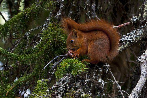 Animals, Squirrel, Pine Cone, Spruce, The Nature Of The