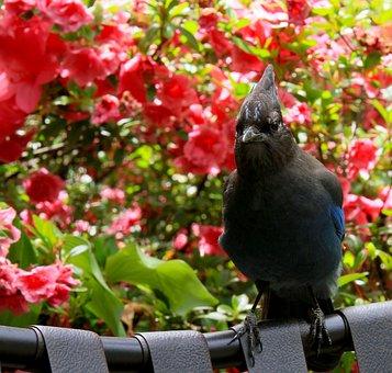 Stellar Jay, Bird, Oregon, Nature, Animal, Jay, Cute