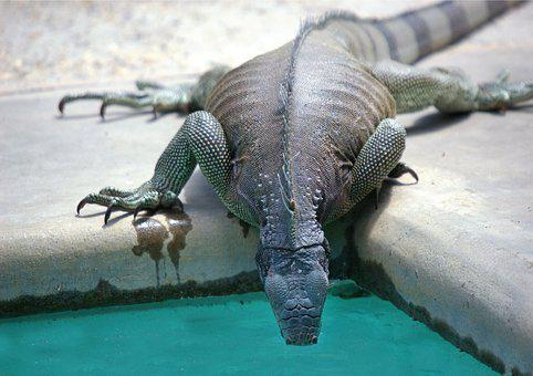 Iguana, Reptile, Swimming Pool, Drink, Thirst, Lizard