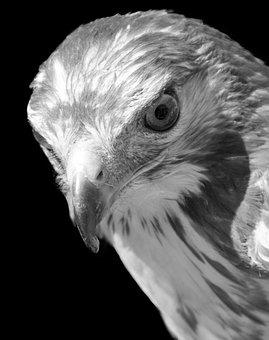 Raptor, Buzzard, Look, Bird, Feathers, Wild, Wild Birds