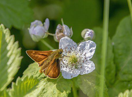 Butterfly, Large Skipper, Wings, Nature, Insect, Summer