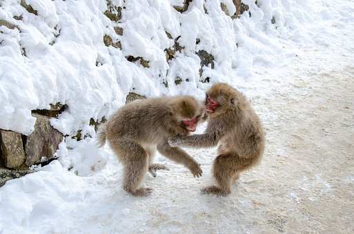 Snow Monkey, Japanese Macaque, Japan, Winter, Wildlife