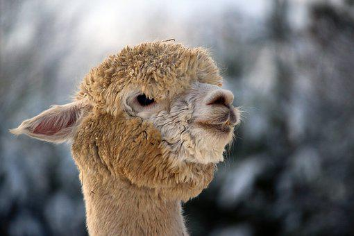 Alpaca, Wool, Animal, Head