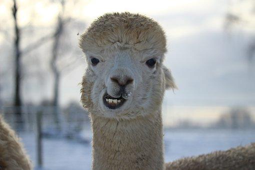 Alpaca, Animal, Wool