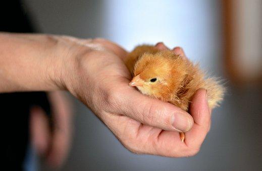 Chicks, Hand, Security, Animal, Young Animal, Plumage