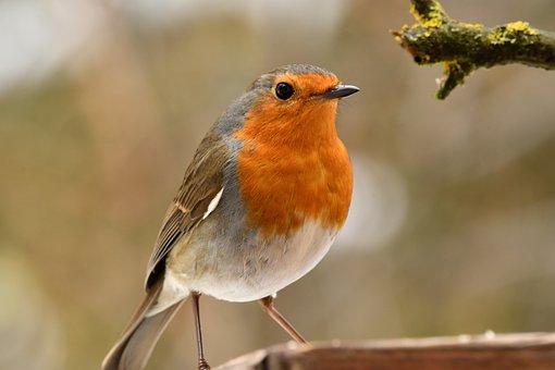 Robin, Bird, Animal, Forest, Red, Winter, Cute