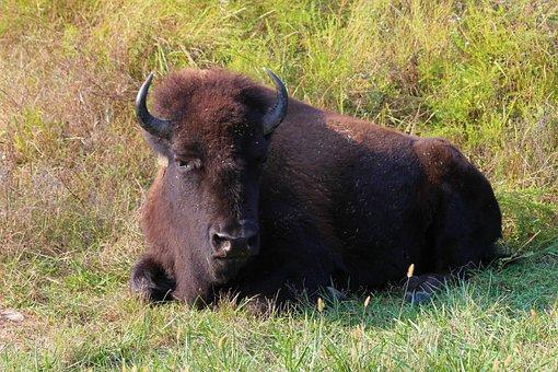 Buffalo, Bison, Horns, Prairie, Pasture, Animal, Nature