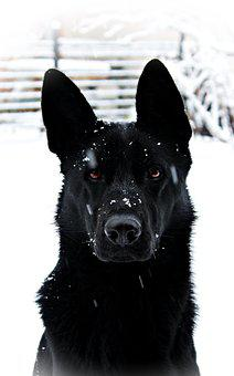 Black German Shepherd, Dog, Snowfall, Snow, Nice, Wolf