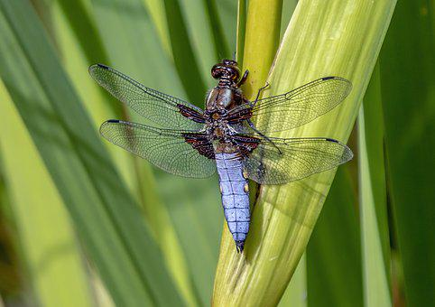 Black Tailed Skimmer, Male, Dragonfly, Insect, Nature