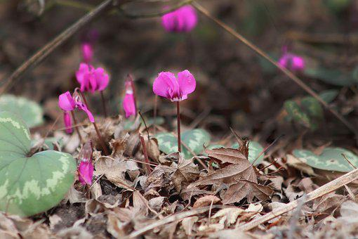 Cyclamen, Flowers, Forest Floor, Pink, Violet, Bloom