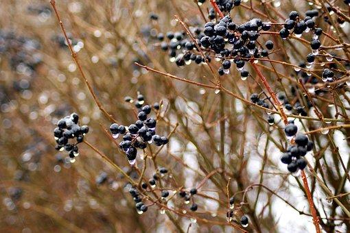 Privet, Bush, Fruit, Hedge, Vegetation, Nature