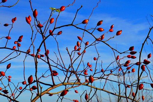 Rose Hip, Fruits, Bush, Red, Winter, Nature, Berries