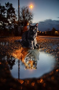 Cat, Tiger, Puddle, Animals, Dangerous, Skins, Light