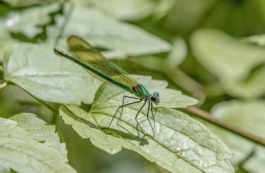 Banded Demoiselle, Female, Damselfly, Insect, Nature