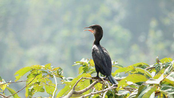 Little Cormorant, Bird, Avian, India, Kerala, Exotic