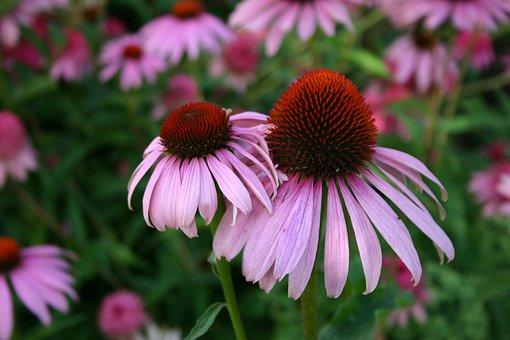 Coneflower, Flower, Echinacea, Blossom, Bloom, Summer