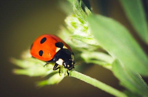Ladybug, Nature, Insect, Plant, Flower, Leaf