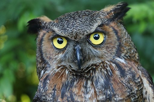 Owl, Great Horned Owl, Nature, Raptor, Eyes, Perched