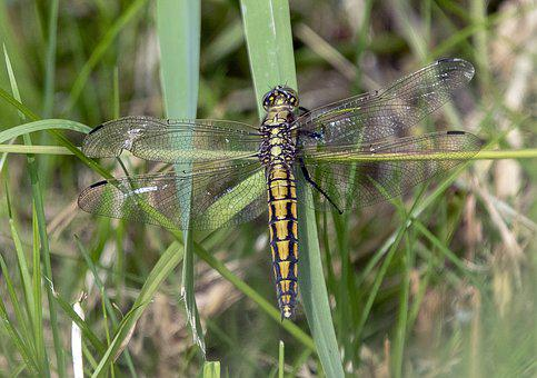 Black Tailed Skimmer, Female, Dragonfly, Insect, Nature