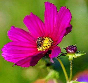 Flower, Bee, Insect, Pollen, Petals, Iris, Pink, Purple